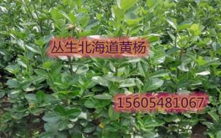 常年供应北海道黄杨、1.2米北海道黄杨多少钱一株