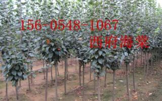 产地直销西府海棠 垂丝海棠 海棠树苗 4-5公分西府海棠