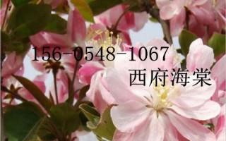 供应西府海棠,7公分/8公分西府海棠树苗成活率高