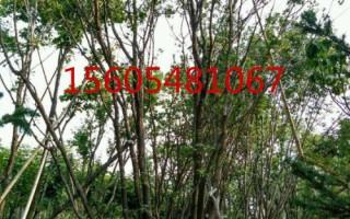 五角枫树苗基地直销7-8公分五角枫规格齐全