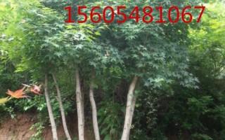 五角枫树苗10公分、12公分、15公分五角枫价格