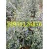 安徽供应:一年生榔榆树小苗