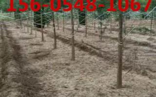 出售国槐基地7公分-10公分国槐树苗