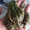 青蛙好养吗 禾牧黑斑蛙青蛙养殖能力强病害少
