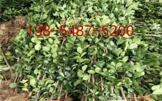 基地出售北海道黄杨-1米、1.8米出售北海道黄杨