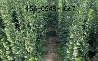 产地直销北海道黄杨-1.5米、1.8米出售北海道黄杨