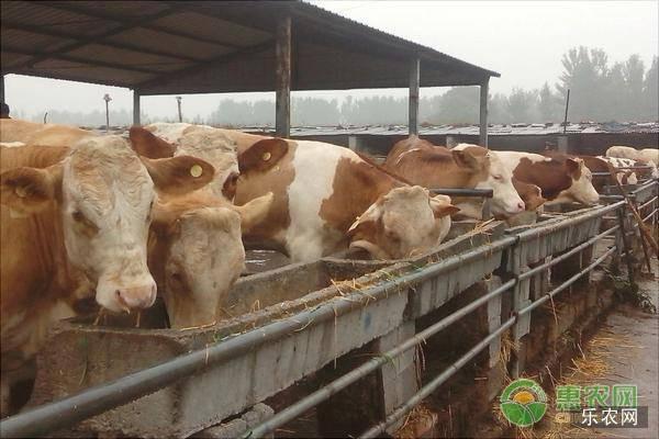 肉牛一年长多少斤