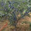 李子树品种有哪些 新品种李子苗培育出售 新疆李子