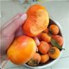 柿子树 水果柿子育苗基地 甜柿子树苗批发零售 新疆柿子