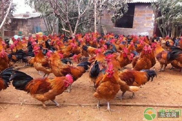 红瑶鸡品种特点