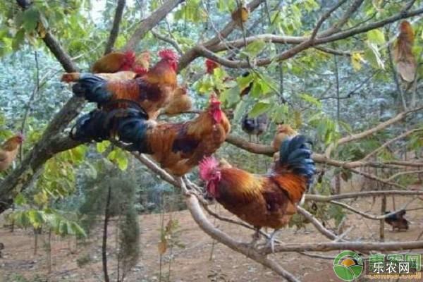 红瑶鸡生长习性
