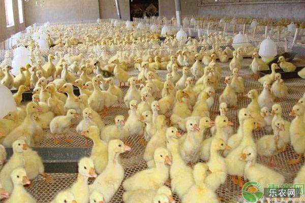 网床养鸭技术