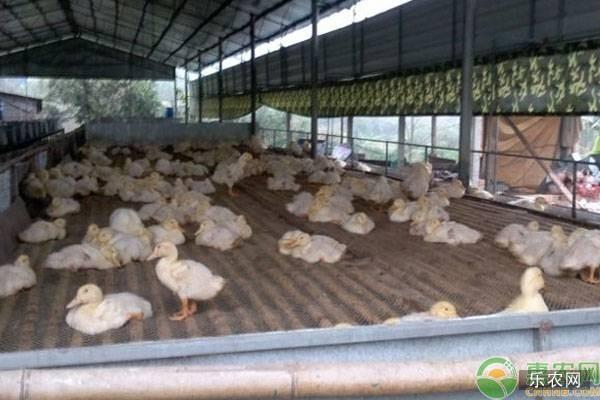 网床养鸭方法