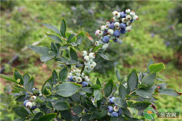 蓝莓苗怎样种植