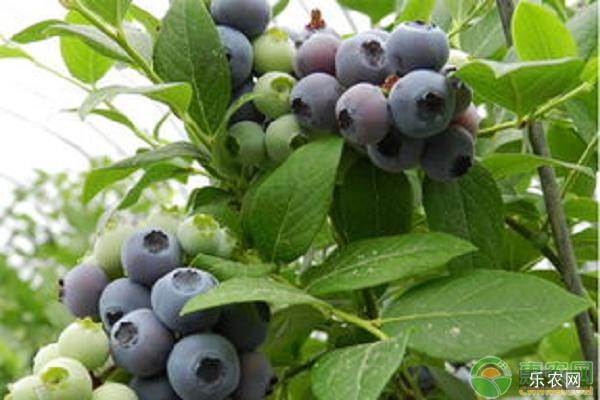蓝莓苗种植方法