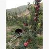 新品种苹果树苗培育出售 爱华苹果树大量出圃 新疆苹果
