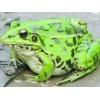 禾牧黑斑蛙养殖前景及效益**