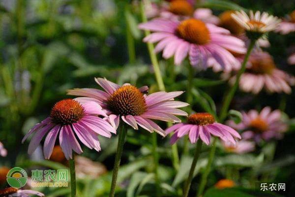 松果菊的养殖方法及养护要点