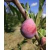 供应特色果树苗木