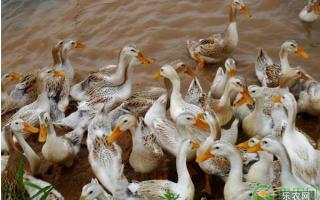 蛋鸭养殖技术,这些方法能有效提高蛋鸭产蛋率!