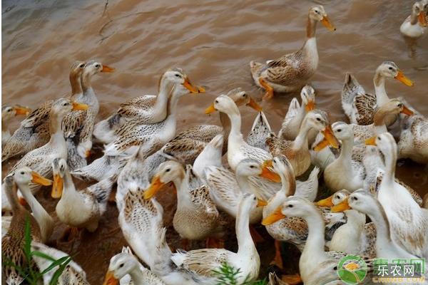 蛋鸭养殖技术