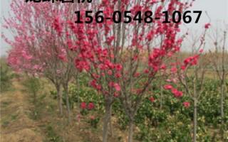 出售龙珠碧桃5公分、6公分、7公分龙珠碧桃规格齐全