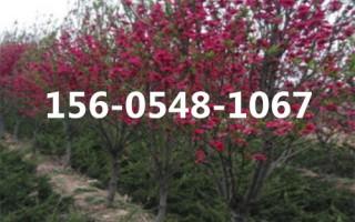 龙珠碧桃树、红叶碧桃树、4公分-7公分龙珠碧桃树