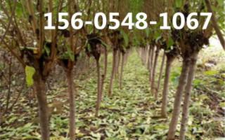 基地龙珠碧桃价格、8公分、9公分龙珠碧桃种植介绍