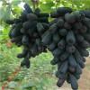 嫁接葡萄苗找轩园园艺场 甜蜜蓝宝石葡萄
