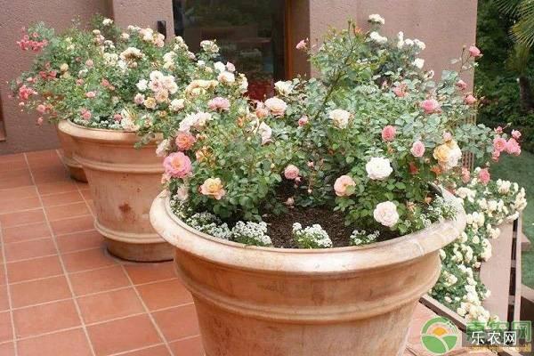 月季花盆选择