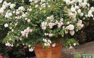 种植月季加仑盆好还是瓦盆好?种植月季如何选择花盆?