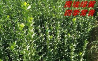 1米冬青树苗、1.2米冬青树苗、1.5米冬青树苗