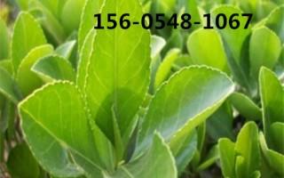 1.2米冬青树苗带土发货1.5米冬青树苗