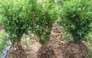 产地直销冬青树苗、1米-1.2米-1.5米冬青苗报价