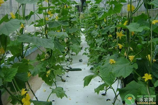 冬天阳台黄瓜的种植技术