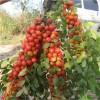 农大钙果苗根系发达强健 华中钙果苗鲜食品种