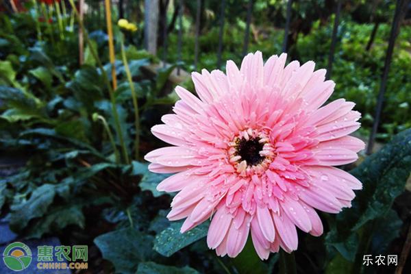 粉色非洲菊的花语是什么