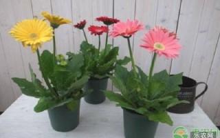 非洲菊种子的种植方法