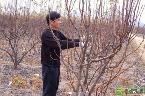 梨树幼树修剪