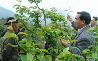 梨树幼树期及盛果期修剪技术