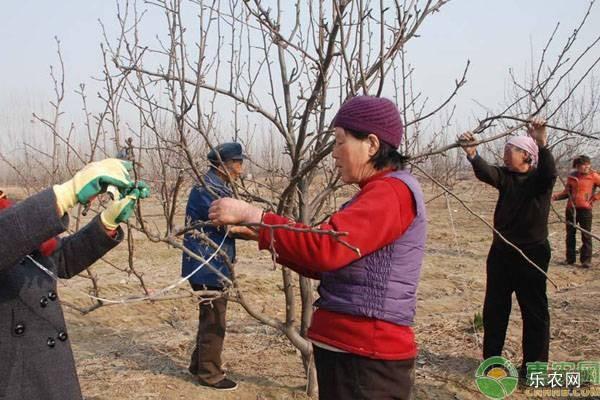 梨树盛果期修剪