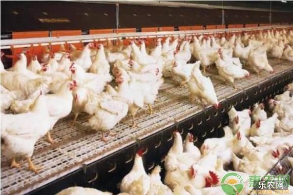 养殖课堂:新手养鸡要点和注意事项