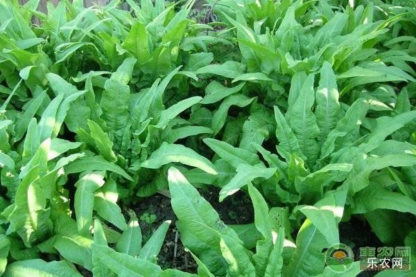 高产莴笋种植方法介绍