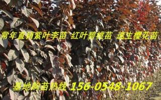 出售3公分、4公分、5公分、6公分紫叶李树苗