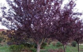 直销4公分紫叶李5公分-8公分紫叶李树苗量大从优