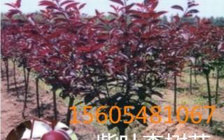 出售8公分-9公分-10公分紫叶李树苗紫叶李批发