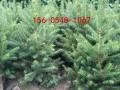 常年出售云杉树、3米-4米-5米云杉规格齐全