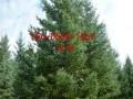 直销1米 2米3米云杉、4米云杉、5米云杉价格
