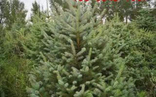 批发1米云杉-2米-3.5米、4-5米云杉树规格齐全