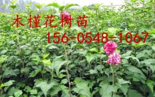 基地批发木槿花4公分、5公分、6公分木槿花树苗